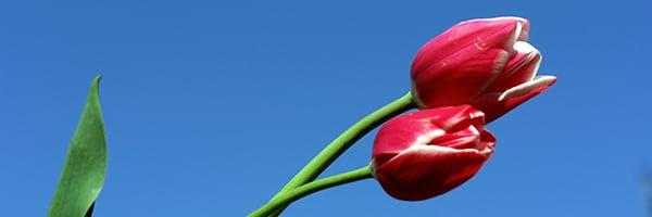 Tulipaner-1
